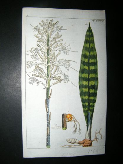 Wilhelm C1790's H/Col Print. White flowered Sansevieria, Aletris guineensis 6-35 | Albion Prints